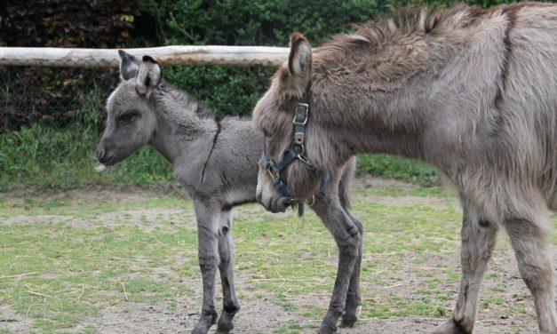 Er lopen teveel ezels rond