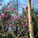 De magnolia kent geen crisis