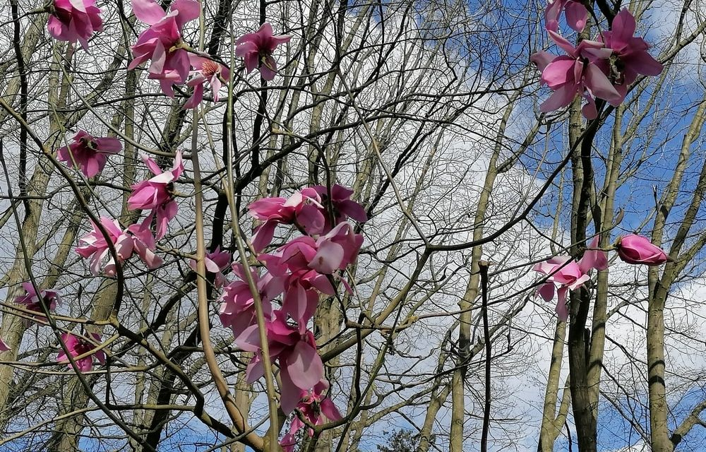 Ontdek de magnolia's in het Rivierenhof