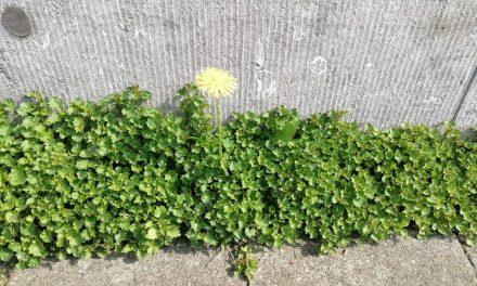 Moet tijdens de stratenpoets onkruid worden verwijderd?
